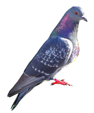 Pigeon clipart simple bird Art sitting pigeon Clip penguin