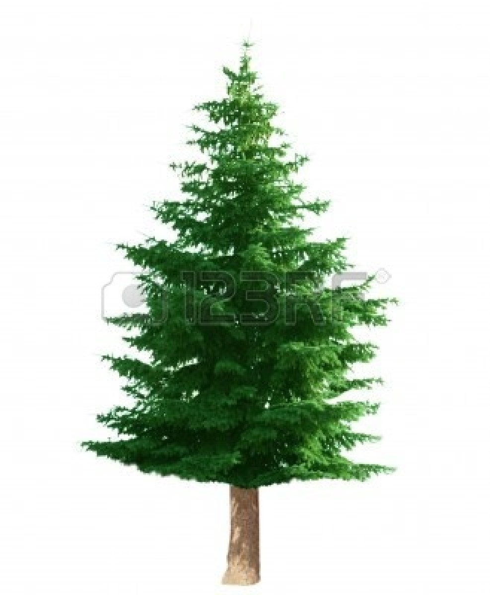 Pine clipart #14