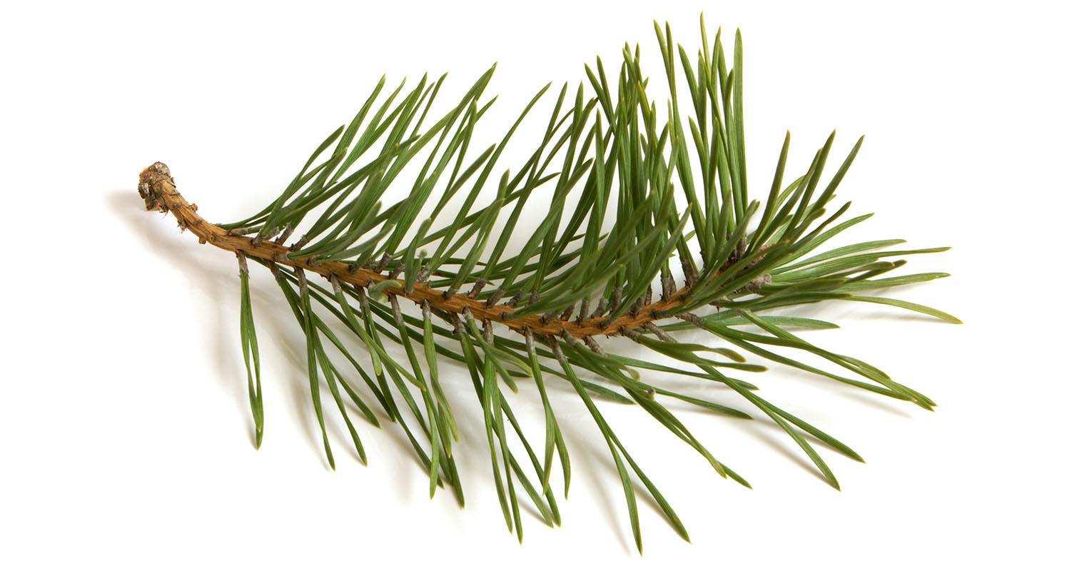Pine clipart pine needle Pine Pine Needles Pine Crafthubs