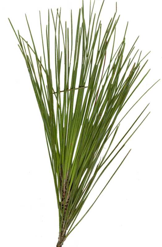 Pine clipart pine needle Needle  Pine info Drawing