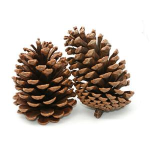Pine Cone clipart Polyvore / Cone Photos (Clip