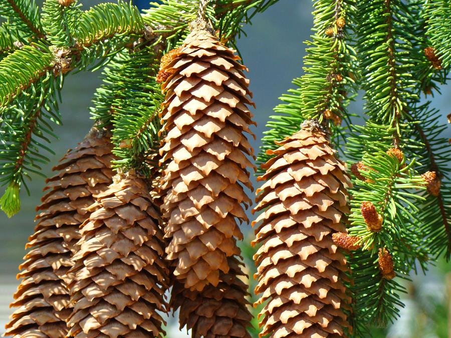 Pine Cone clipart coniferous forest Google Shrub Google cones fir