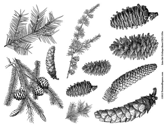 Pine Cone clipart pine needle Art Needles by Pine Media