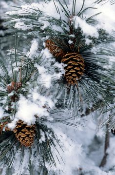 Pine Cone clipart snowy Pine branch and Art holiday