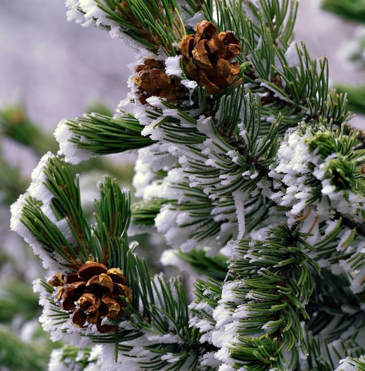 Pine Cone clipart snowy Trees images 43 winter the