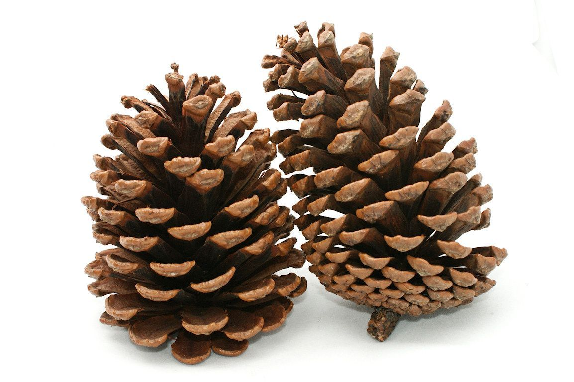 Pine Cone clipart snowy Wallpaper Cone Pine Cave Wallpapers