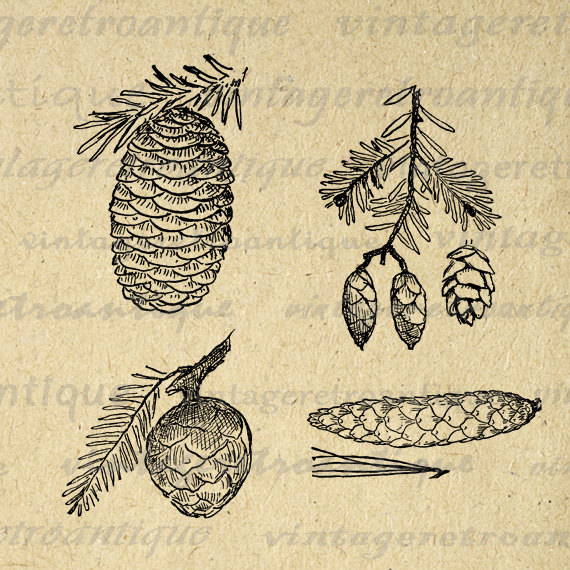 Pine Cone clipart vintage Art drawing Sheet Cone High