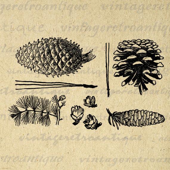Pine Cone clipart vintage Vintage Printable Png Graphic Printable