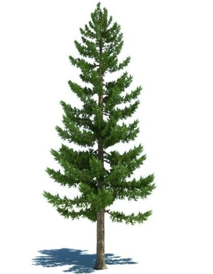 Pine Tree clipart fine Plays pine images Ideas: and