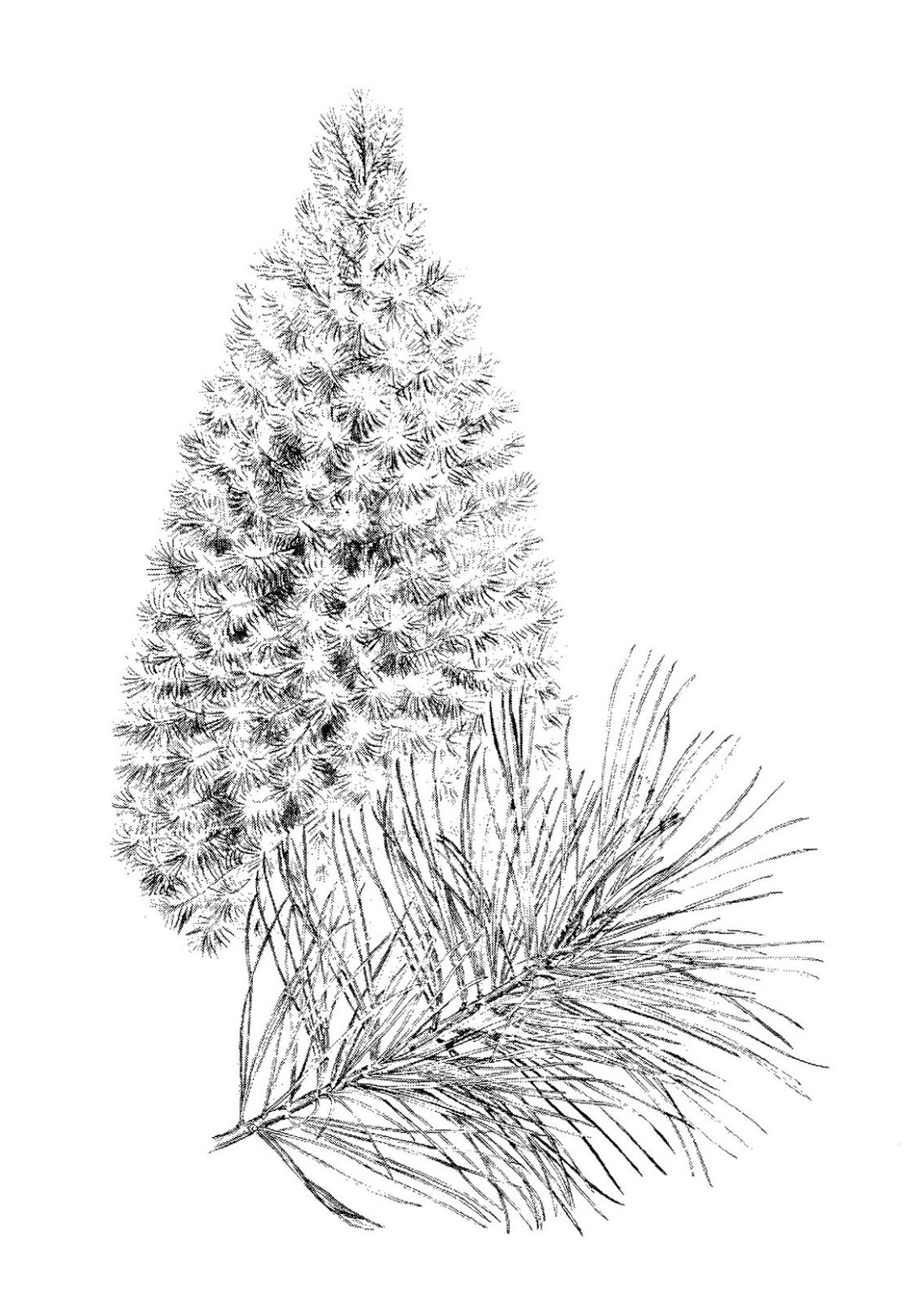 Pine Tree clipart many tree Were Looking a a thought