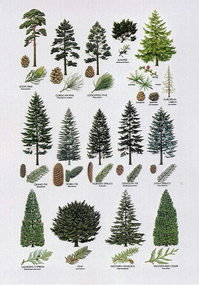 Pine Tree clipart nature walk Great to come botanicals which