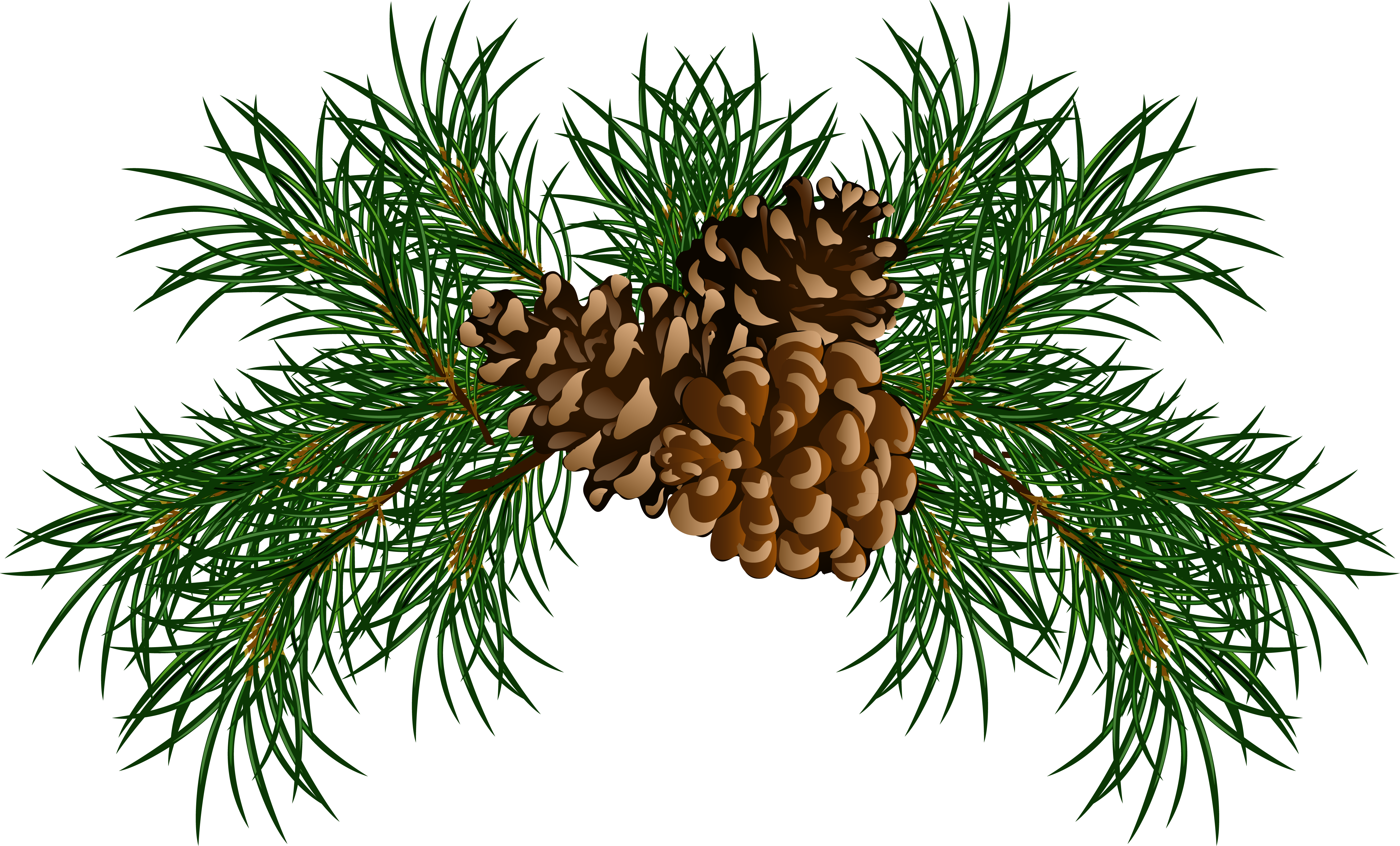 Branch clipart bough Pine Clipart Cones Boughs cliparts