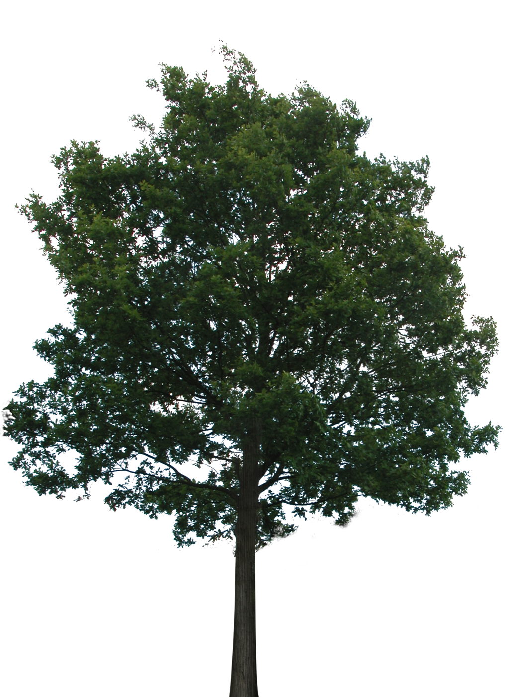 Pine Tree clipart real Backgrounds and (PNG Bupaje By