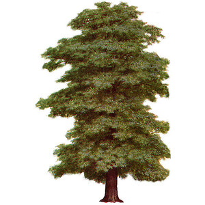 Pine Tree clipart real Trees Clipart Polyvore Tree