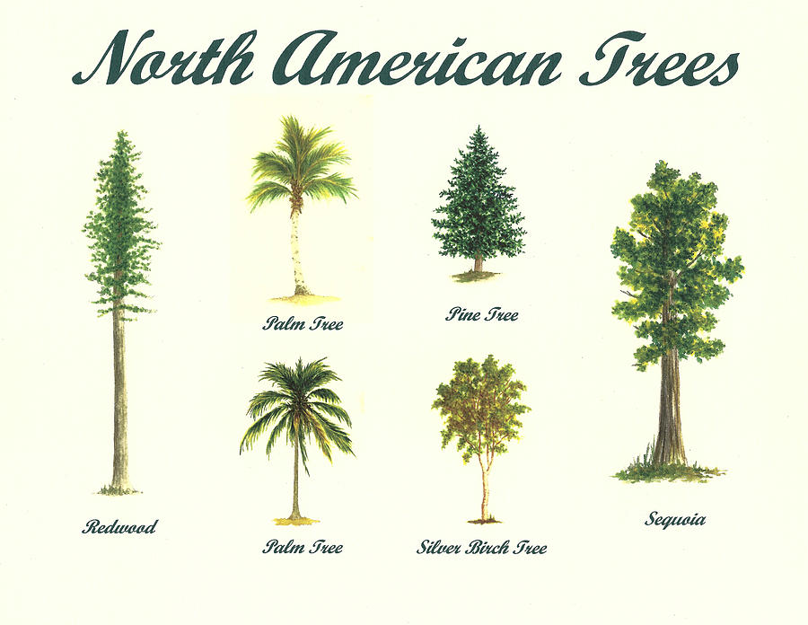 Pine Tree clipart redwood Trees North resources Tree Drawing