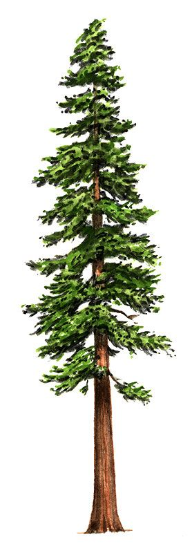 Pine Tree clipart redwood Clipart Redwood drawings Redwood Redwood