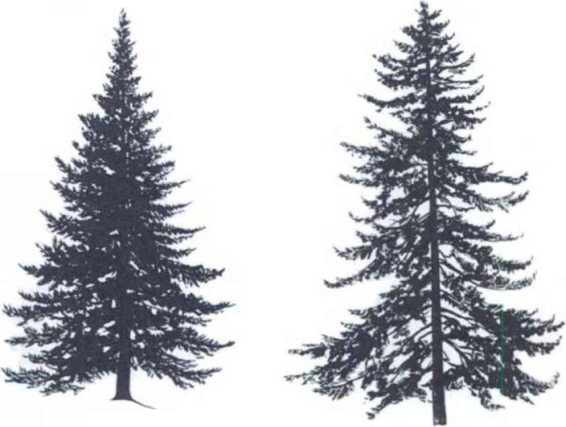 Drawn fir tree line drawing Numbers page at Artistic this
