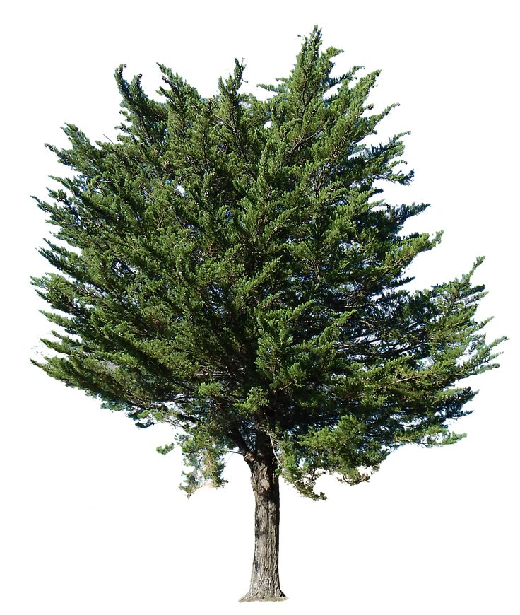 Pine Tree clipart transparent Free tree transparent Trees tree