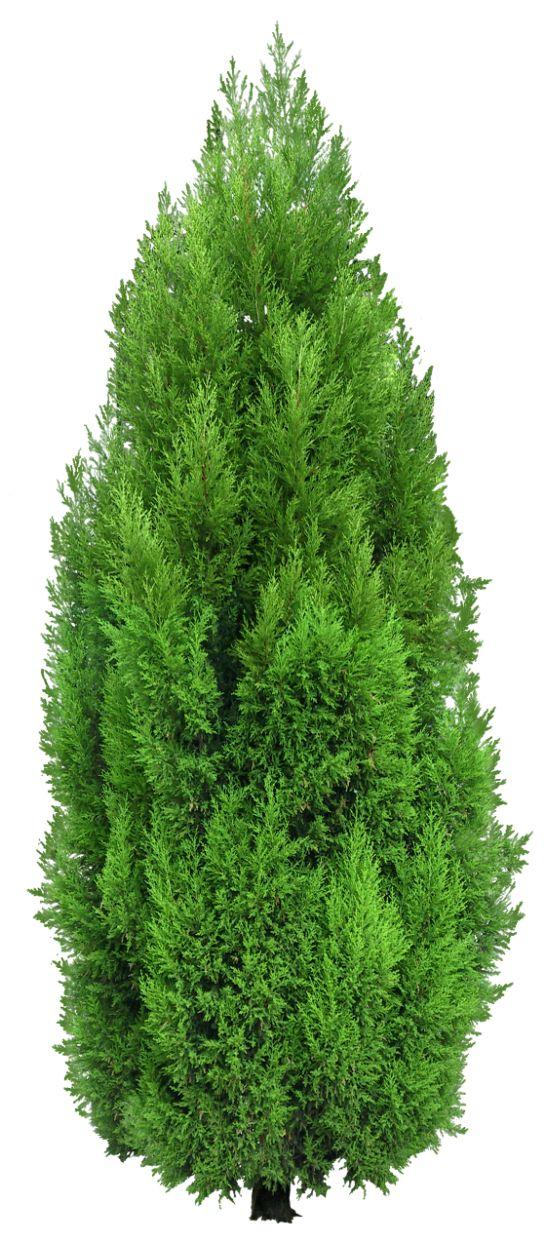 Pine Tree clipart transparent Transparent  gif branches Best