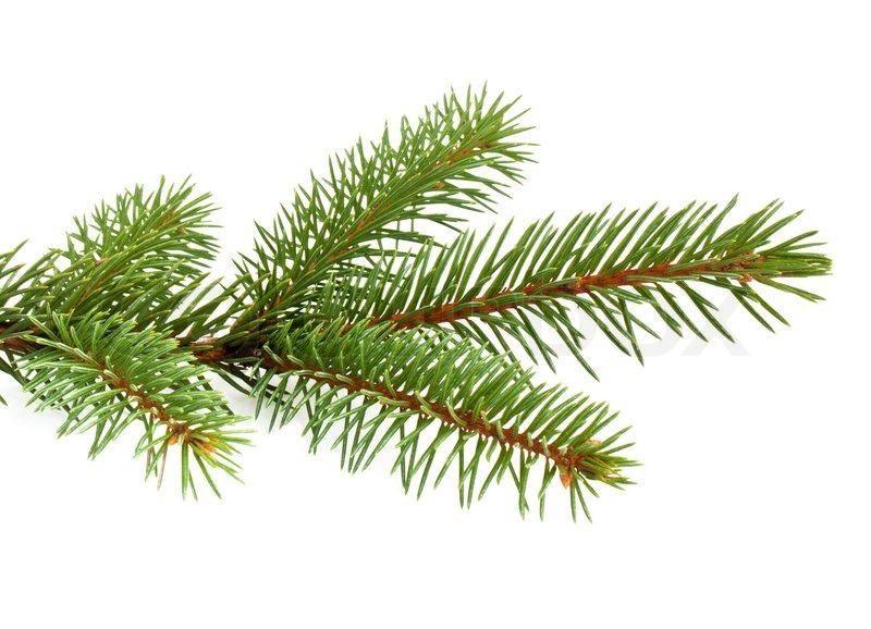 Pine Tree clipart transparent  transparent transparent branches ClipartFest