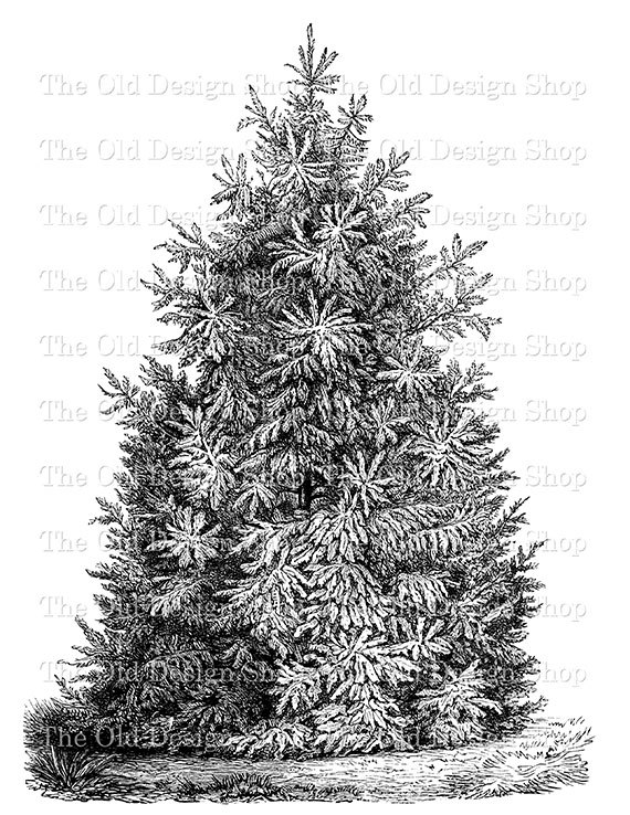 Pine Tree clipart vintage Printable Tree Botanical Pine Vintage