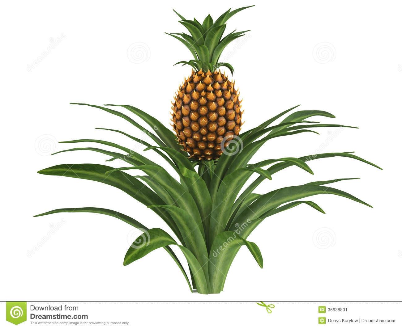 Plant clipart pine apple Csp14058102 Clipart Pineapple Pineapple plant