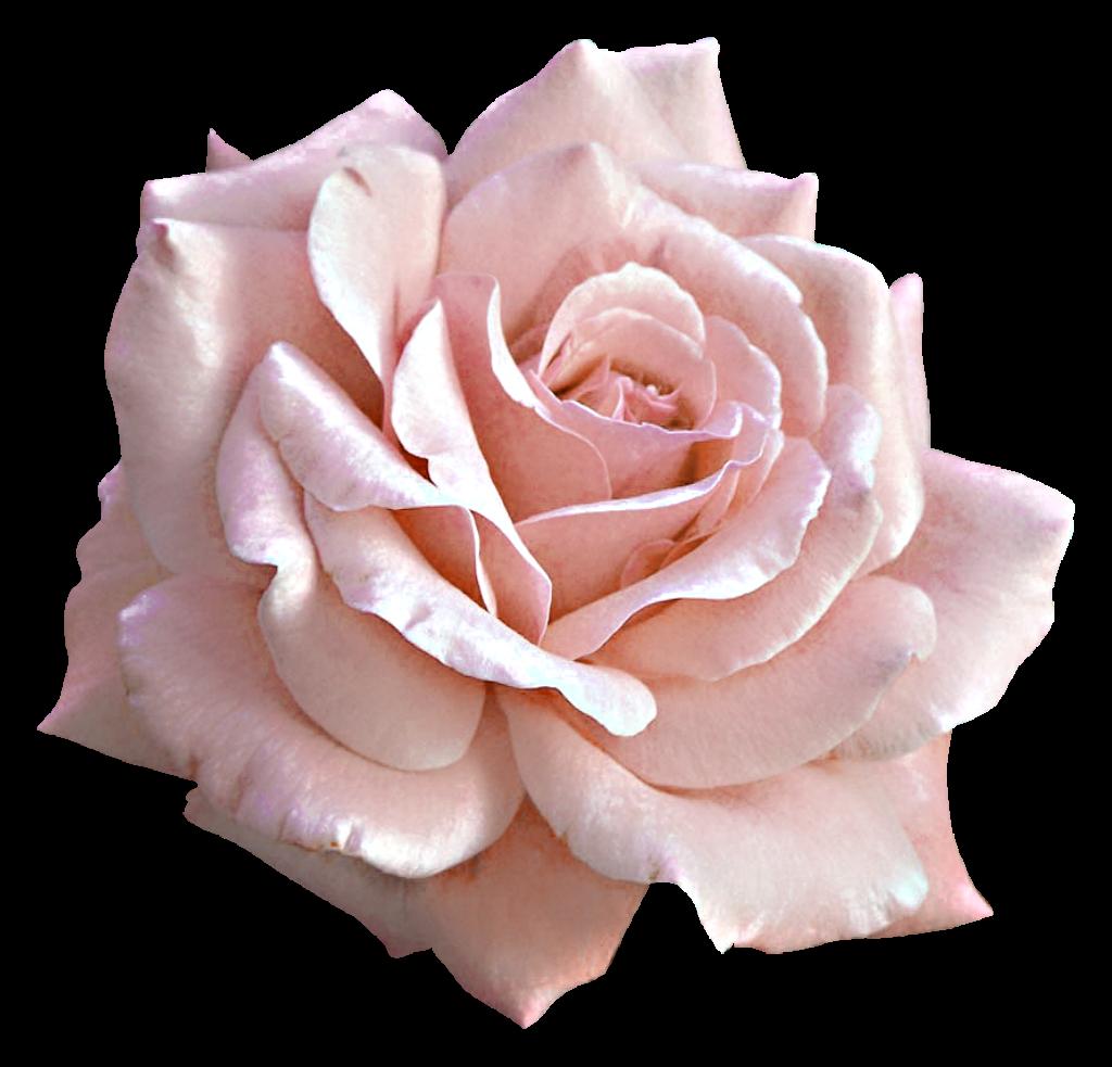 Pink Flower clipart light pink rose Rose Google zoeken pink Google
