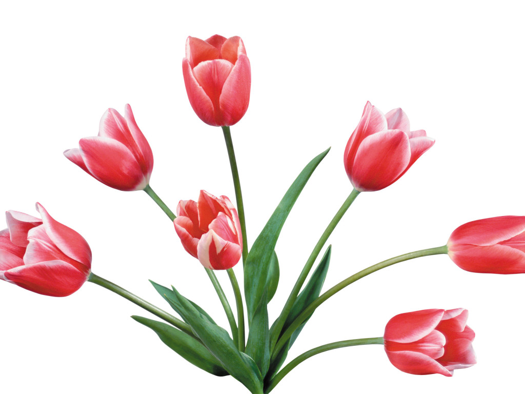 Pink Flower clipart pink tulip Art Free Pictures Tulip art