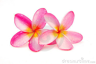 Yellow clipart plumeria Plumeria vector etching frangipani flower