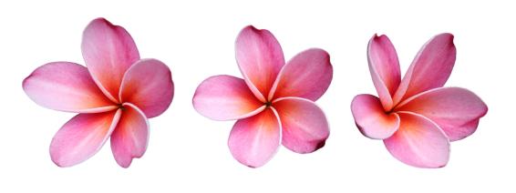 Pink Flower clipart plumeria Grower Presents… Facts: Fresh frangipani