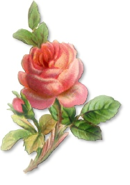 Pink Rose clipart flowery Rose Free graphics and Flower