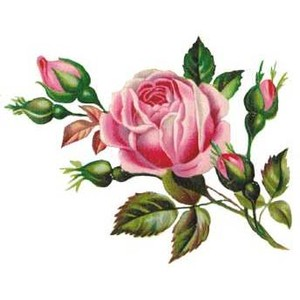 Rose clipart english rose #4