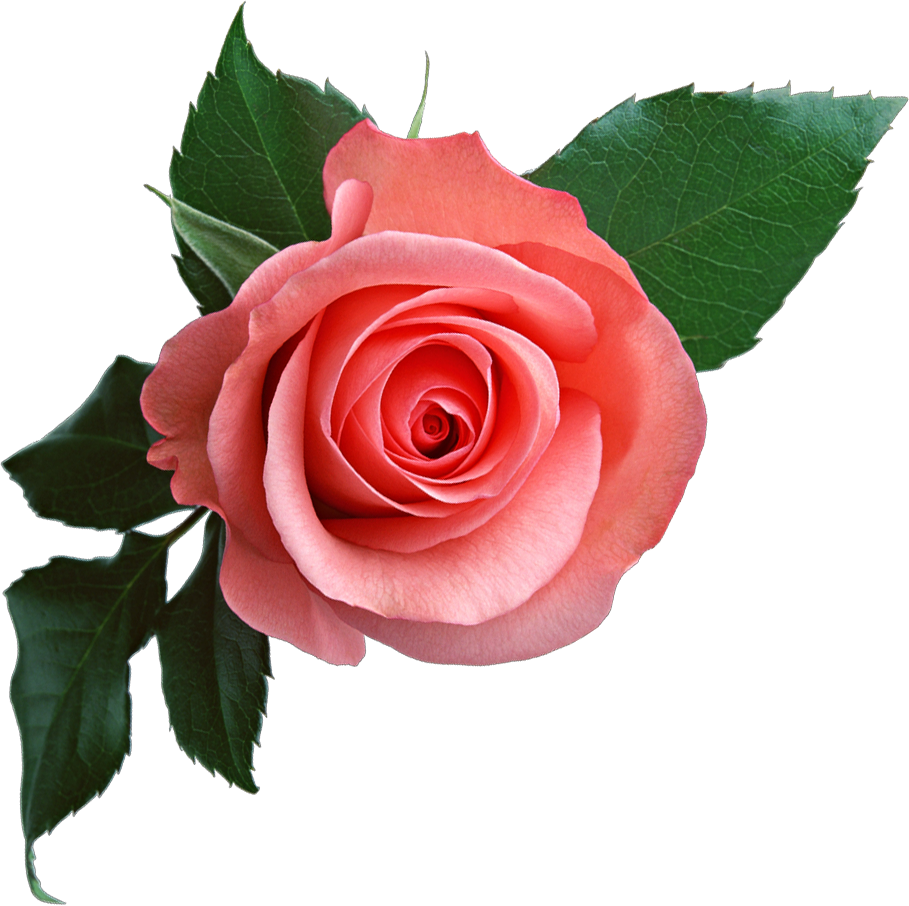 Pink Rose clipart flowery Pink  Rose Flower Png