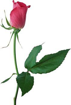 Pink Rose clipart flower bouquet Bud Bud PNG Rose Rose