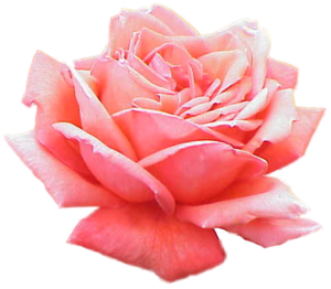Pink Rose clipart public domain Clker Pink Free Pink