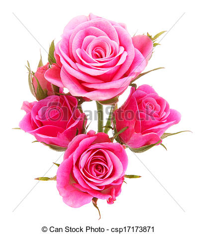 Pink Rose clipart white background Isolated Picture on  isolated