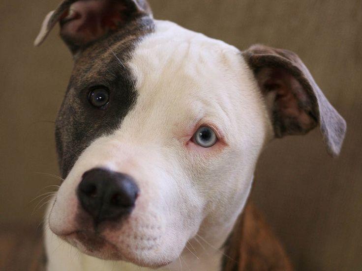 Pit Bull clipart blue nose  20+ Pinterest pitbulls Free