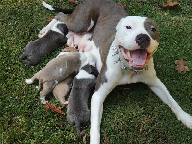 Pit Bull clipart blue nose Pitbull Tumblr Blue pitbull Puppies!