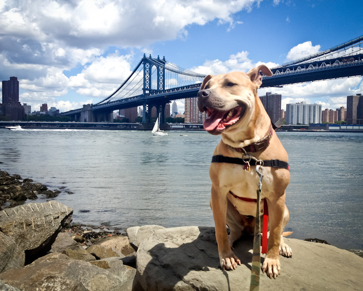 Pitbull clipart bad boy HuffPost Dogs  16 Also