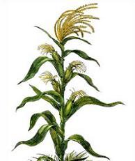 Plant clipart corn stalk Cornstalk Clipart Corn Free Stalk