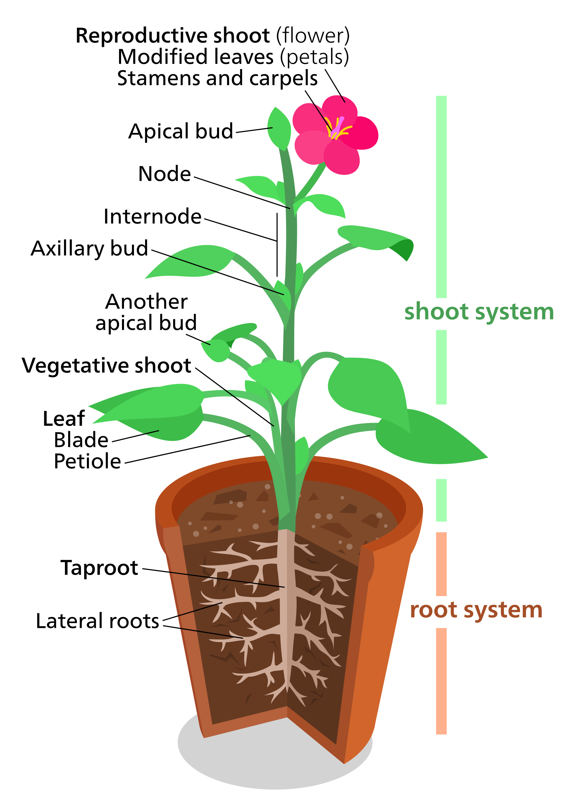 Plant clipart different kind plant Svg Wikimedia File:Plant Commons Open