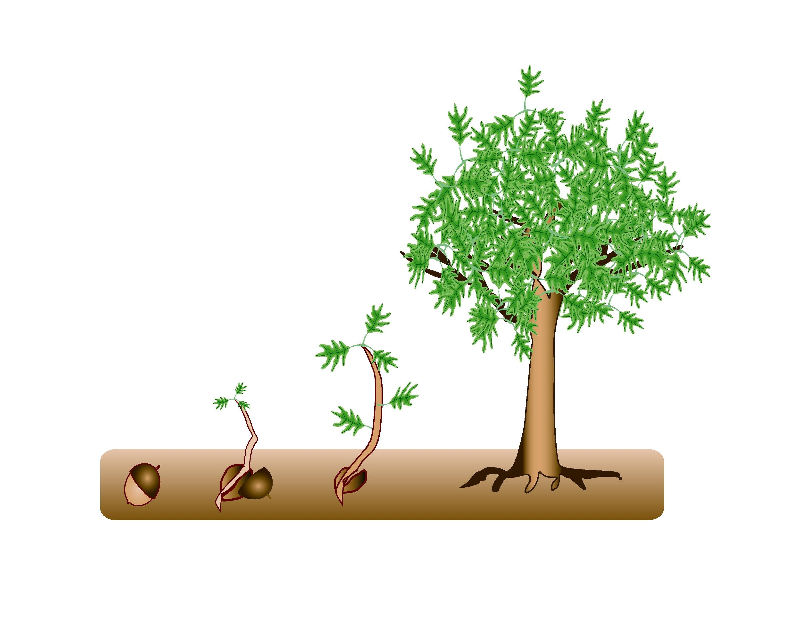 Plant clipart growing stage Plant Clipart more Clipart Growing