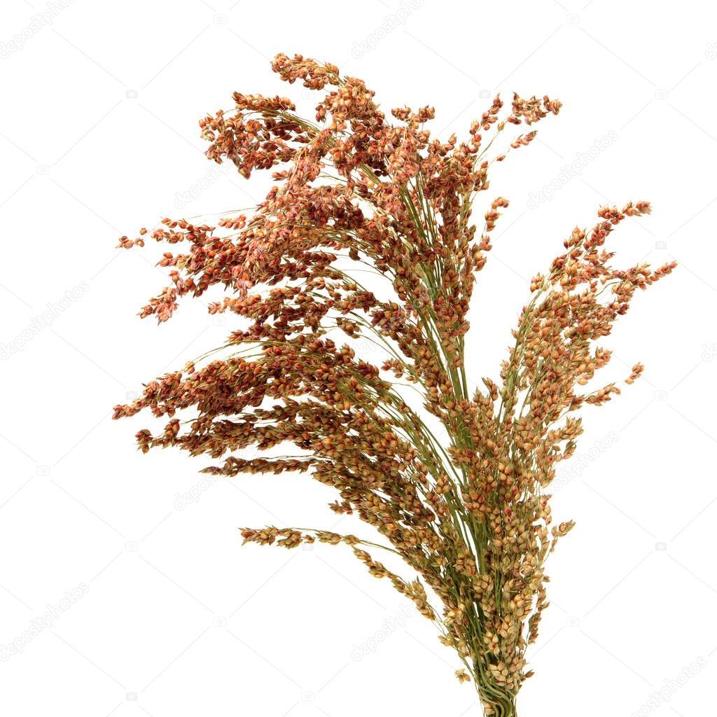 Plant clipart jowar #5