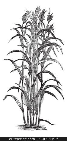 Plant clipart jowar #4