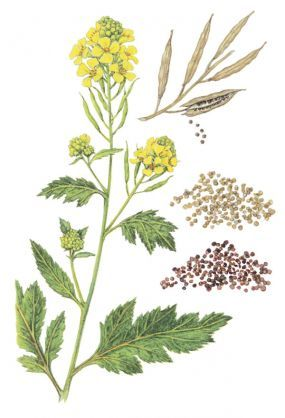 Plant clipart mustard seed An with best to seed