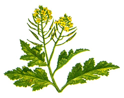 Plant clipart mustard seed Plant Up Spice Mustard Cooking