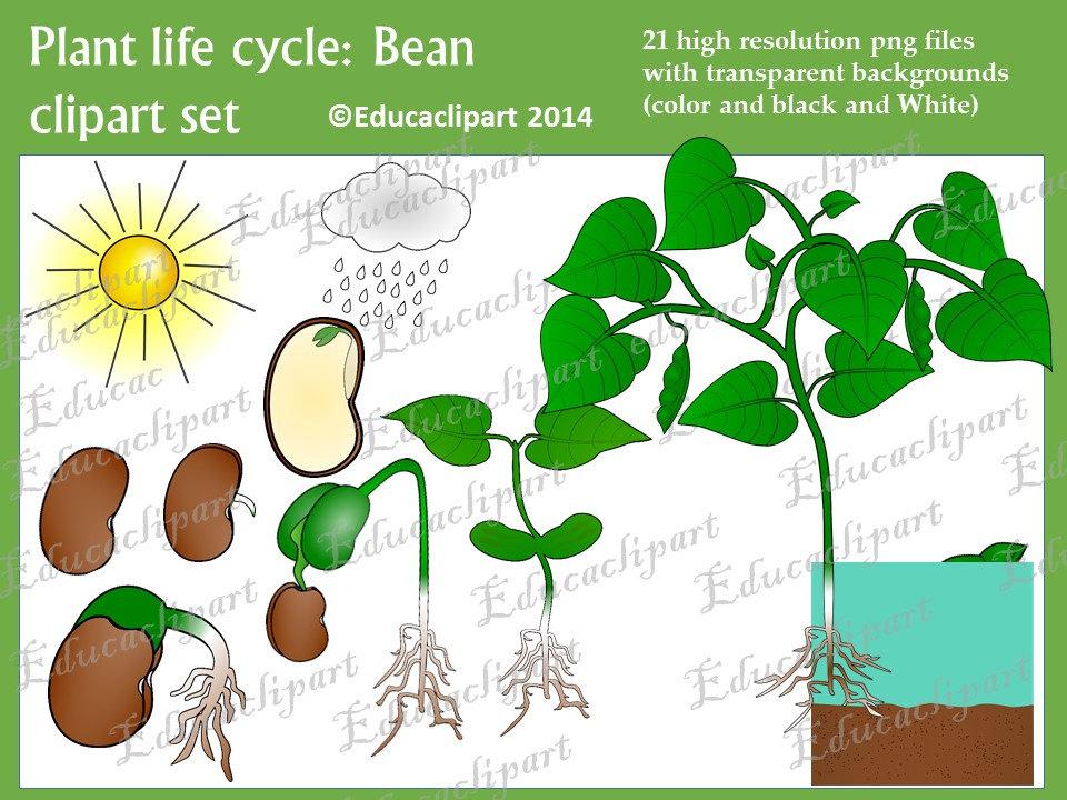 Plant clipart plant life Like Bean item? Plant this