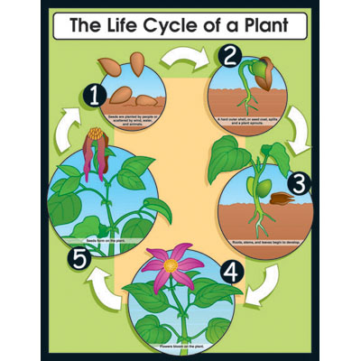 Plant clipart plant life  Life Cycle Plant Clipart