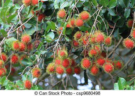 Plant clipart rambutan Of Pictures Tropical Stock Tropical