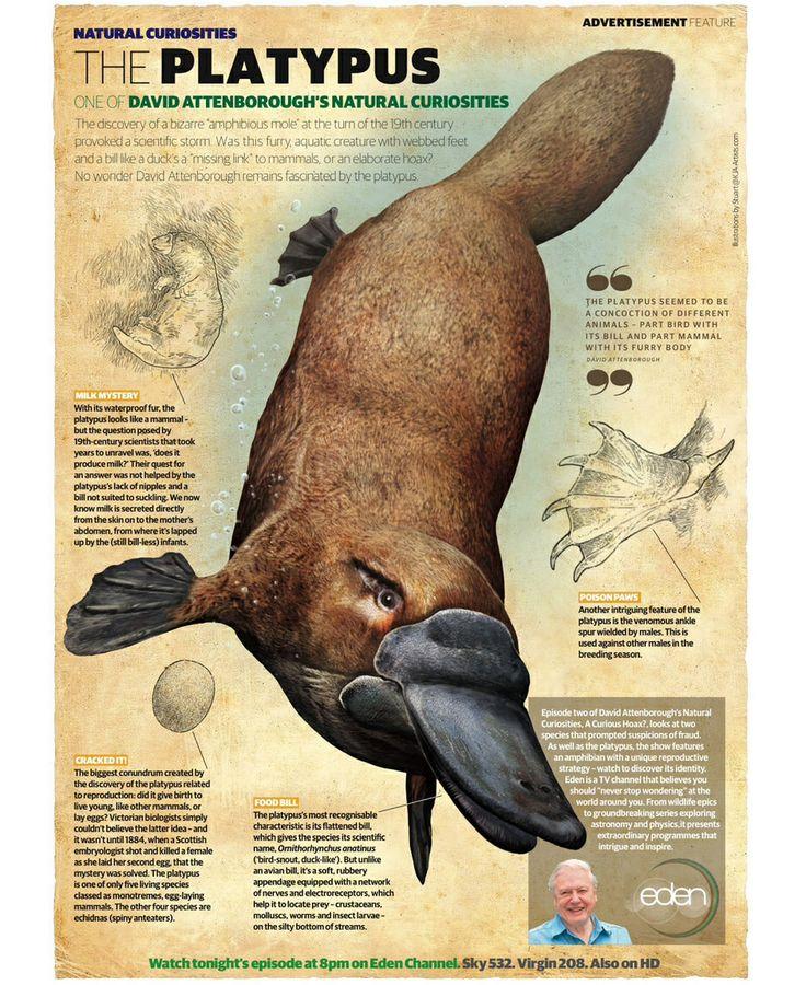Platypus clipart foot Platypus Platypus 50 images Pinterest